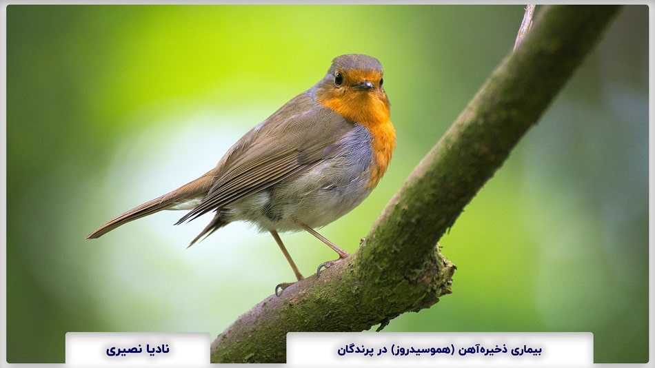Hemosiderosis in Birds