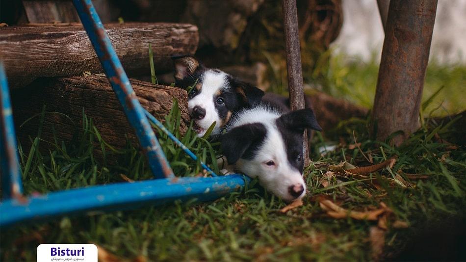 Parvovirus in dogs - Danger to life for dogs